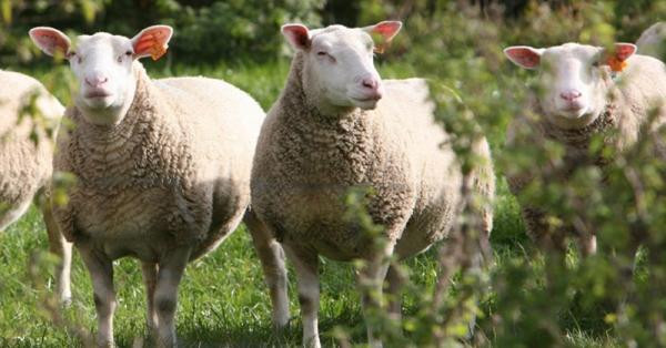 Agriculture : La filière ovine est toujours en reconquête